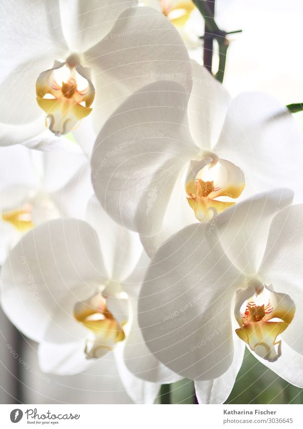orchids Nature Plant Spring Summer Autumn Winter Orchid Leaf Blossom Exotic Decoration Blossoming Illuminate Beautiful Yellow Orange White Orchid blossom