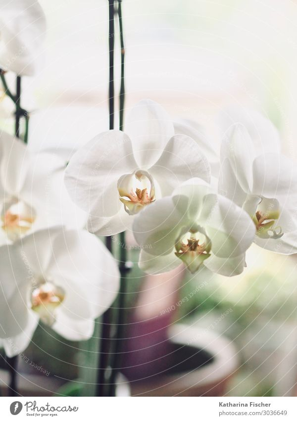 orchid blossoms Nature Plant Orchid Leaf Blossom Blossoming Illuminate Beautiful Yellow Green Orange White Orchid blossom Colour photo Interior shot Deserted