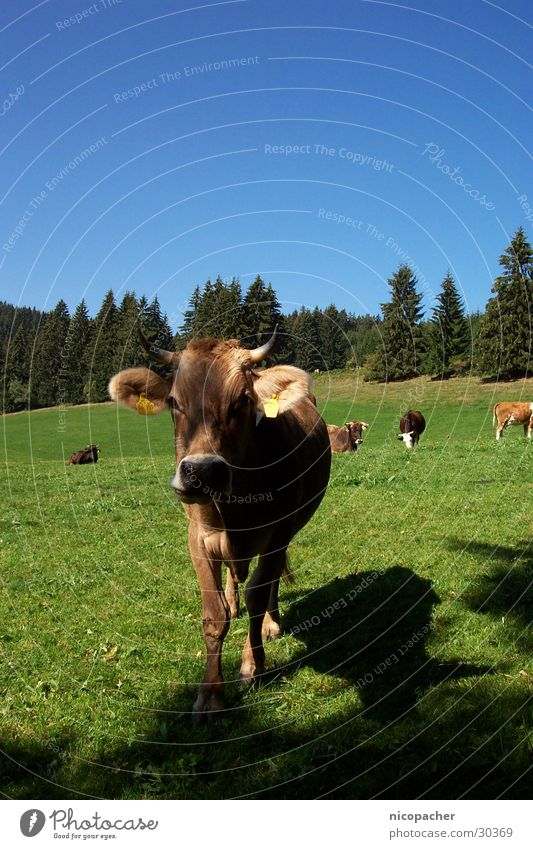 Allgäu cow Cow Summer Meadow Green Cattle Pasture Grass Animal Mountain Antlers Blue Blue sky warm season
