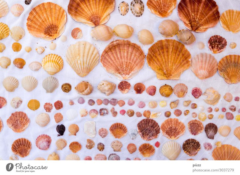 seashells Vacation & Travel Summer Summer vacation Beach Ocean Environment Nature Animal Water Coast Wild animal Mussel Decoration Collection Brown Yellow White