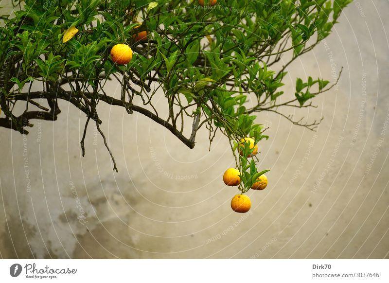 Before harvest - Orange tree with ripe fruits Food Fruit Nutrition Organic produce Vegetarian diet Italian Food Vacation & Travel Summer Nature Tree Fruit trees
