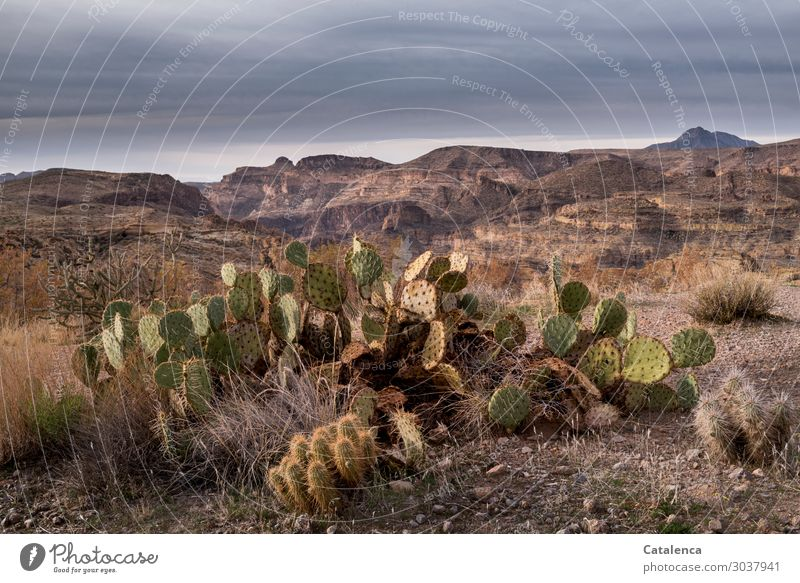 Opuntia Mountain Hiking Environment Landscape Plant Sand Sky Storm clouds Horizon Climate Bad weather Drought Bushes Cactus Opuntia Echinocarpa Desert To dry up