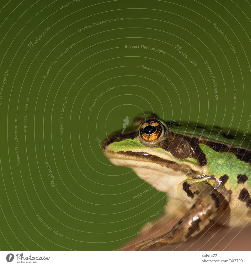Nature Green Animal Environment Wild animal Observe Animal face Frog Amphibian Water frog Frog eyes