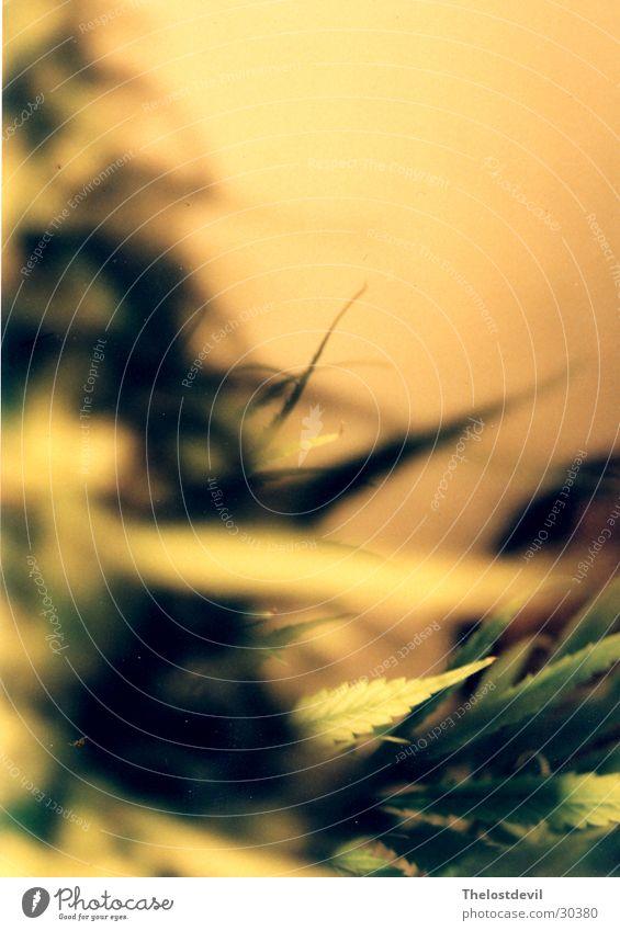 gunjah Nature Cannabis grass hemp chill