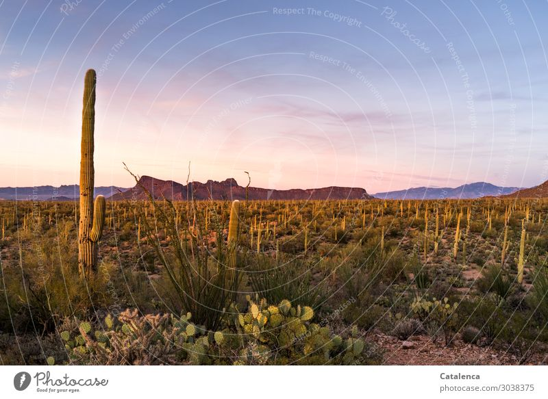 Twilight with cactus Mountain Hiking Environment Nature Landscape Plant Sand Cloudless sky Summer Climate Drought Bushes Cactus Wild plant Opuntia Fig cactus