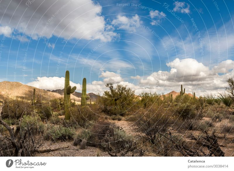 desert Landscape Plant Elements Earth Sky Clouds Winter Beautiful weather Bushes Cactus Hill Desert Sonora Desert Threat Large Hot Dry Blue Brown Green Moody
