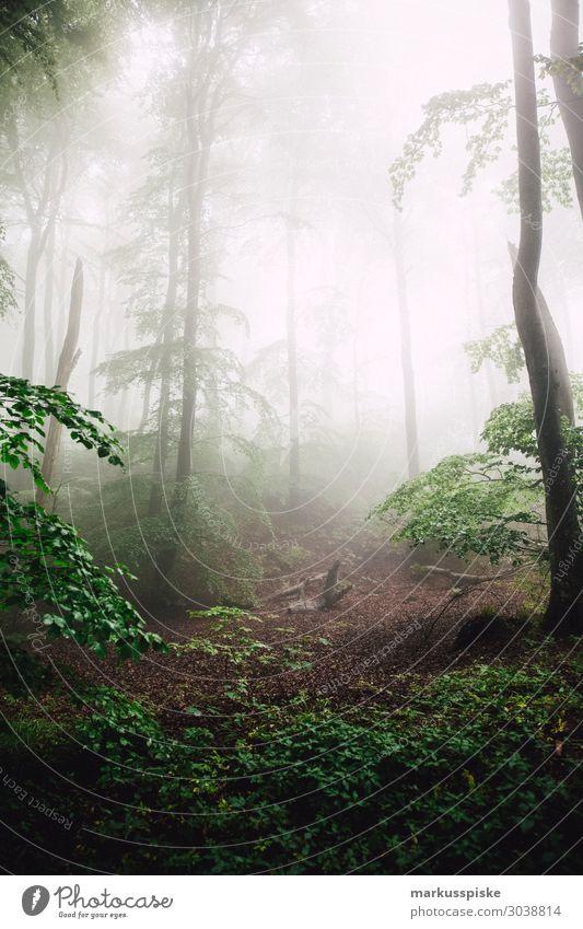 Møns Klint Beverage Nature Landscape Fog Tree Forest Virgin forest Dark Baltic Sea Europe moen monk Mon Mons Klint deep forest Denmark dry fir branch fir cone