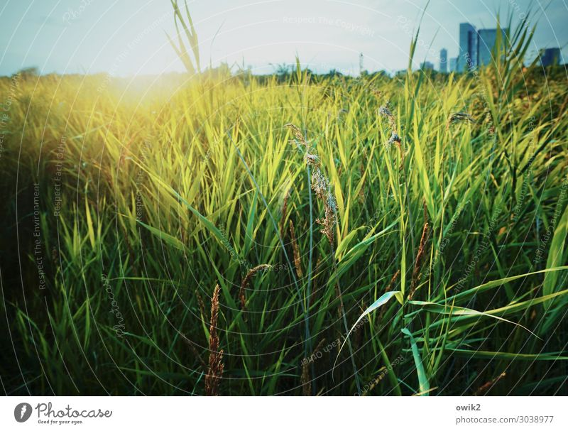 Wienerberg Environment Nature Landscape Plant Cloudless sky Horizon Sun Beautiful weather Grass Foliage plant Wild plant Common Reed Park Lake Vienna
