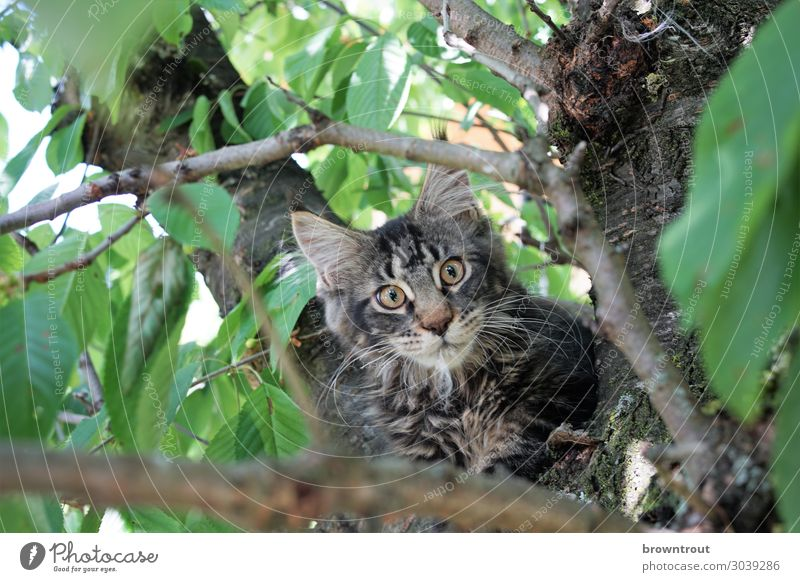 Kitten in a cherry tree Pet Cat Animal face 1 Observe Lie Looking Wait Brash Free Cuddly Curiosity Cute Above Brown Gray Green Bravery Interest Surprise