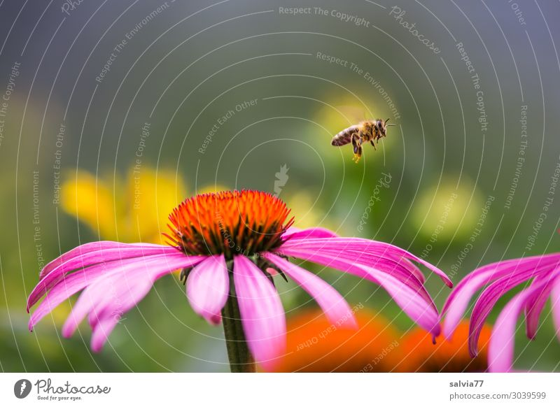 bee flight Environment Nature Summer Plant Blossom Sunhat Purple cone flower Garden Animal Pet Bee Honey bee Honey flora Insect 1 Blossoming Fragrance Flying