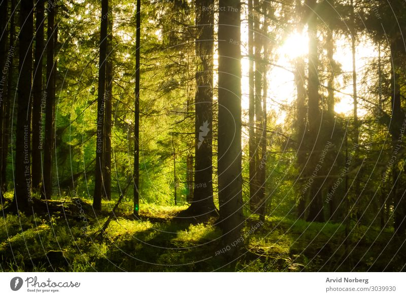 Sunlight shining through trres Beautiful Harmonious Summer Environment Nature Landscape Autumn Fog Tree Leaf Park Forest Virgin forest Natural Yellow Green