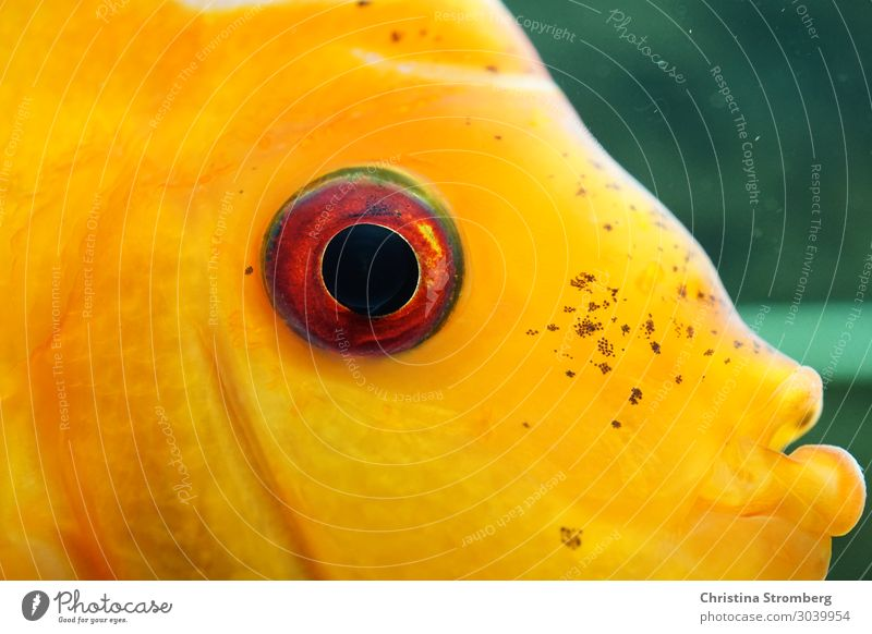 Look me in the eye Swimming & Bathing Animal Pet Fish Aquarium Discus fish Cichlids Multicoloured Fishkeeping Tropical Resident Looking Water River Amazonas 1