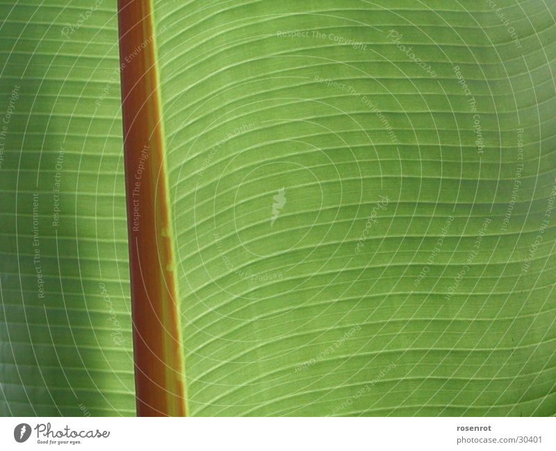 Green Leaf Line Banana leaves