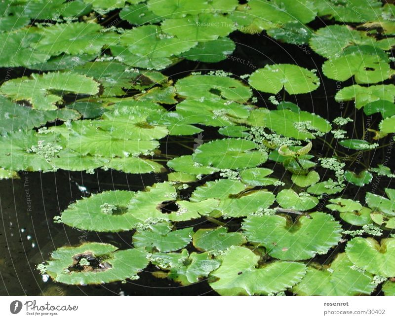 Green Leaf Water lily