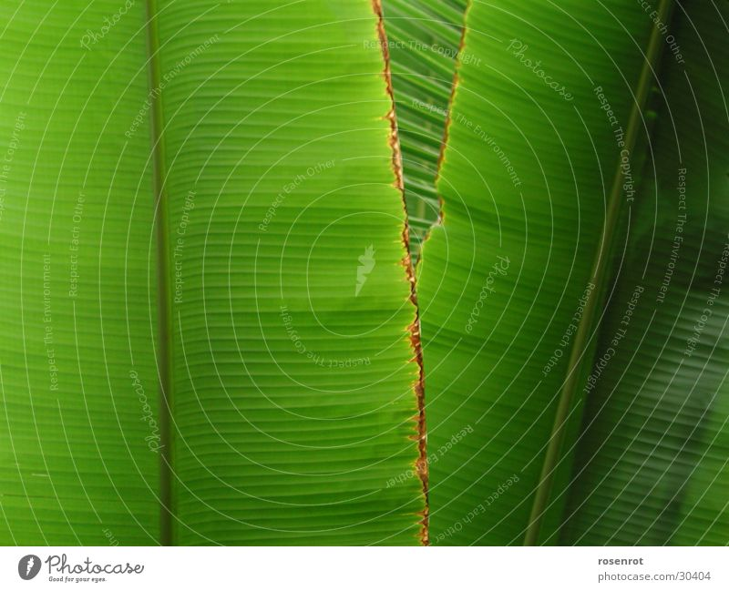 Green Leaf Banana Banana leaves