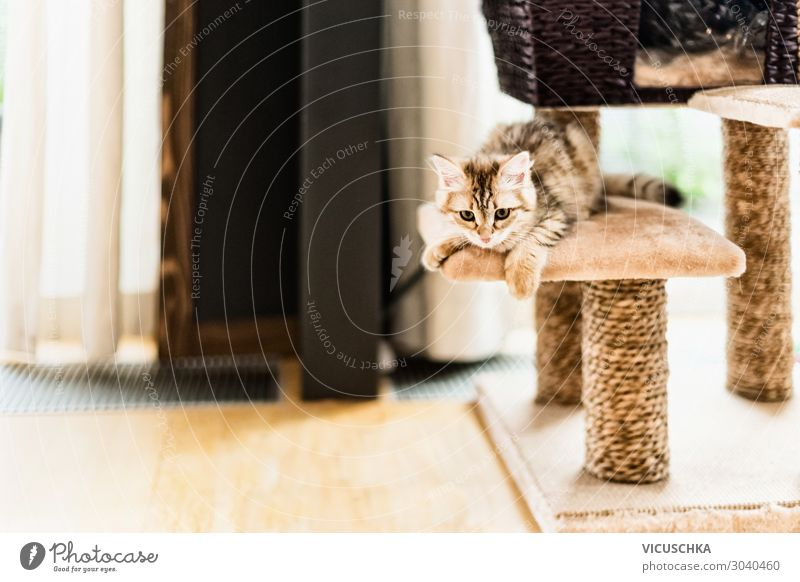 Funny kitten playing on cat tree in living room. Siberian purebred cat funny siberian playful pedigree window game young rope pole cute kitty domestic furniture