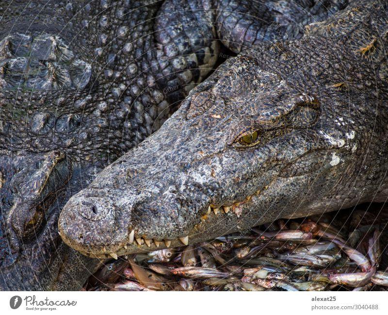 Crocodile head in a crocodile farm Skin Mouth Teeth Nature Animal River Lanes & trails Large Wild Dangerous Alligator amphibian bite Carnivore clipping danger