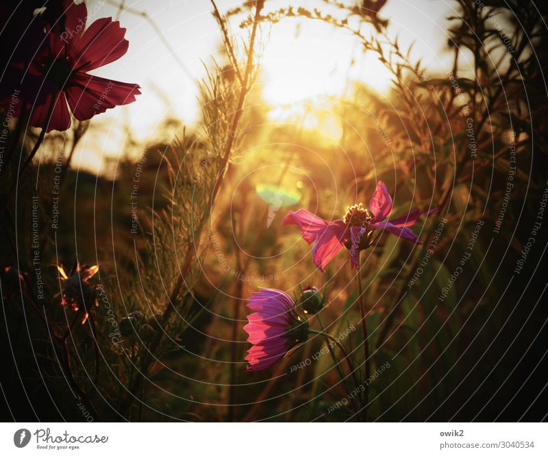 jewelry basket Environment Nature Landscape Plant Summer Beautiful weather Flower Leaf Blossom Wild plant Cosmos Garden Meadow Blossoming Glittering Illuminate