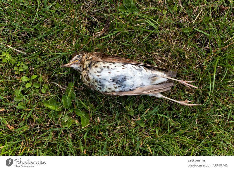 Usutu Blackbird species extinction Throstle Deserted Epidemic Bird Songbirds Death Copy Space End Lie usutu Virus bird epidemic die a bird bird virus