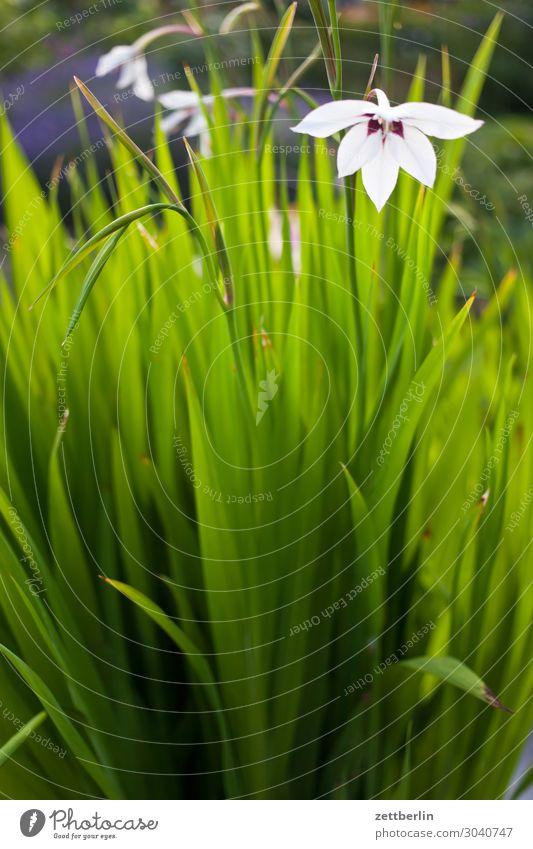 Plant Green Flower Leaf Blossom Garden Copy Space Blossoming Garden plot Lily Gladiola