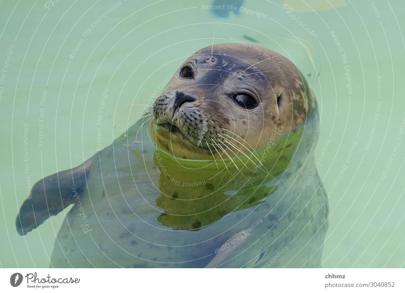 floating state Ocean Animal Wild animal Animal face Seals Seal cub 1 Looking Green Serene Patient Calm Nature Water Swimming pool Hover Skeptical Colour photo