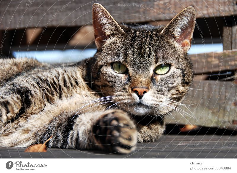 Cat lying on wooden floor observantly Lie Terrace Wooden floor paw relaxed green eyes Interest