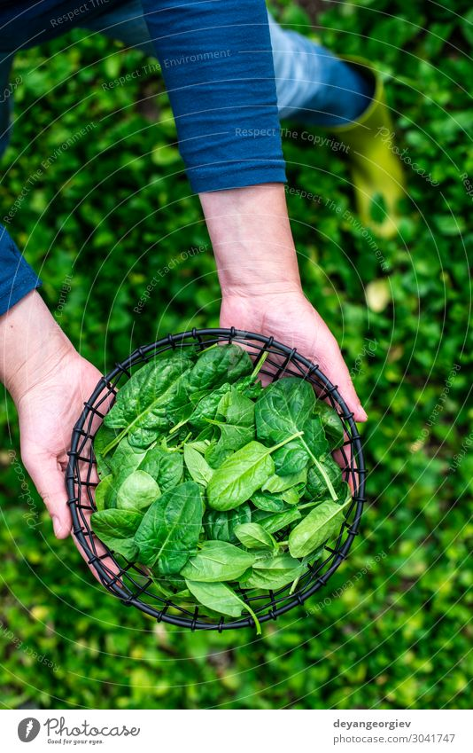 Gardner picking spinach in organic farm Vegetable Garden Gardening Human being Woman Adults Plant Leaf Growth Fresh Natural Green Spinach bio Organic food