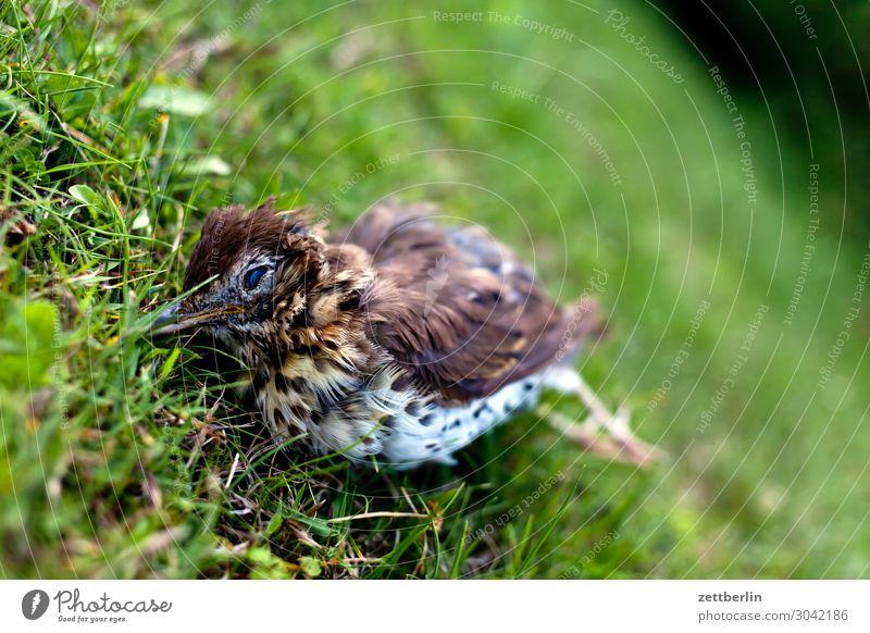 Dead Song Thrush Living thing Throstle Deserted Epidemic Bird Songbirds Death Copy Space usutu Virus bird epidemic die a bird Animal portrait Corpse Grass