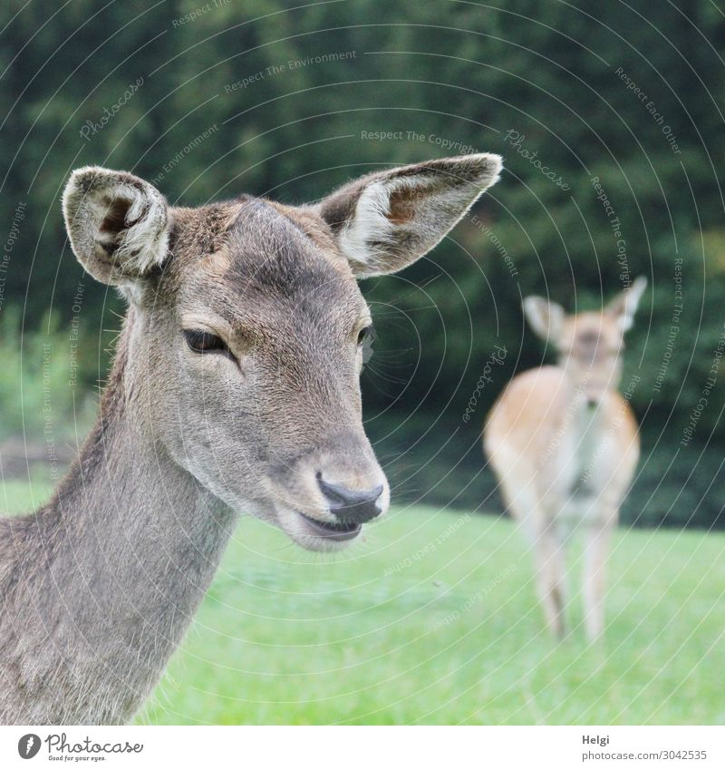 Close-up of a fallow deer cow on a meadow, in the background a second animal Environment Nature Plant Animal Autumn Tree Grass Park Wild animal Fallow deer 2