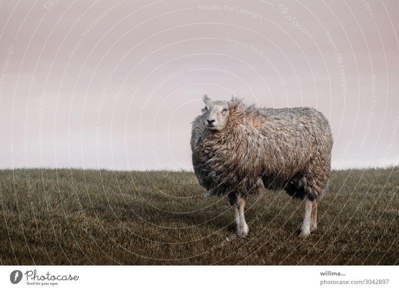 the arrogant dike sheep Sheep Animal Farm animal Pelt Disheveled Wind Pride Dike Meadow rural Willow tree Cattle breeding Aesthetics Animal portrait Arrogance