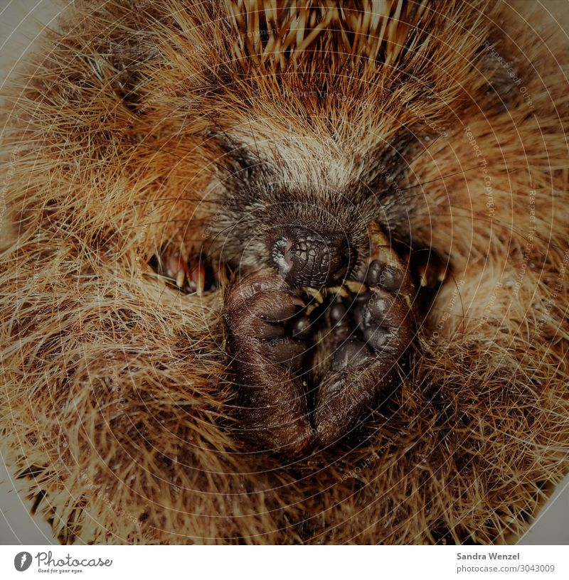 hedgehogs Animal Hedgehog 1 To enjoy Peaceful Goodness Rolled Colour photo Exterior shot Deserted Day Bird's-eye view