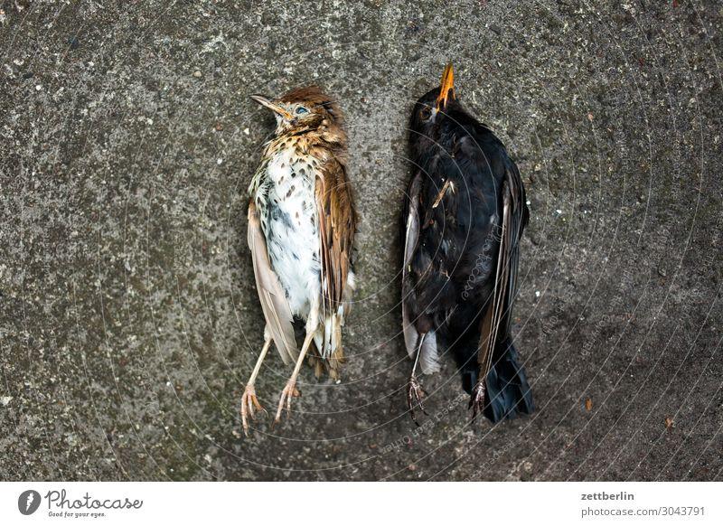Two dead birds Blackbird Living thing Throstle Deserted Epidemic Bird Songbirds Death Copy Space usutu Virus bird epidemic Lie Corpse Feather