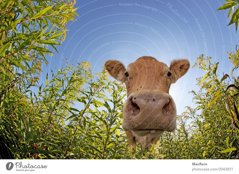 cow Agriculture Forestry Meadow Farm animal Cow Curiosity One animal Frontal Cattle Muzzle Even-toed ungulate Odor Mammal Livestock Ruminant Be confident