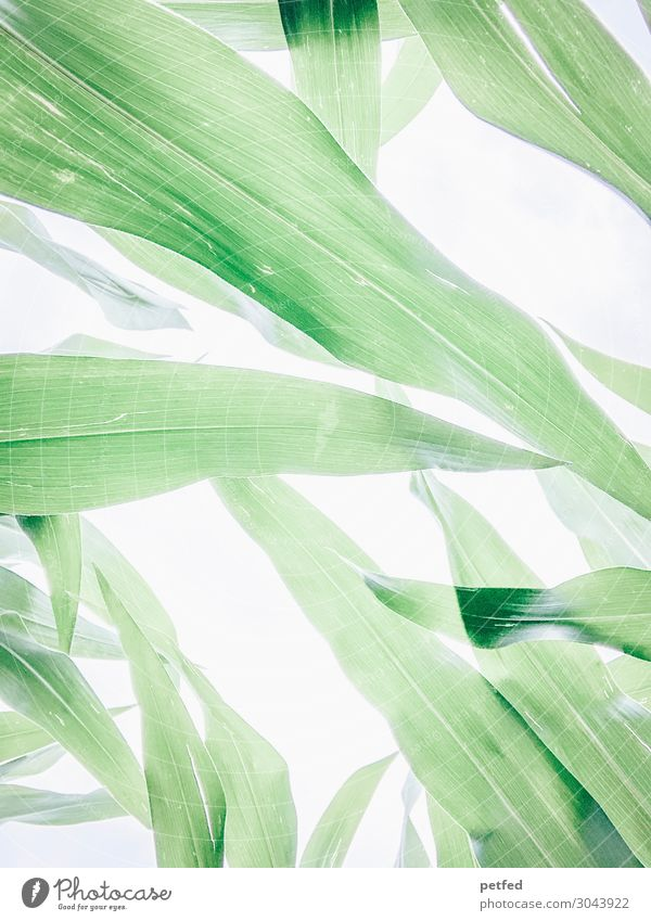 maize Nature Summer Plant Leaf Maize Blossoming Growth Sustainability Natural Green White Energy Colour photo Exterior shot Deserted Neutral Background High-key