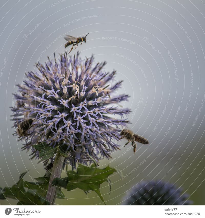 Bee magnet ball thistle Environment Nature Plant Summer Flower Blossom Thistle globe thistle Garden Animal Wing Honey bee Insect 3 Blossoming Fragrance Flying