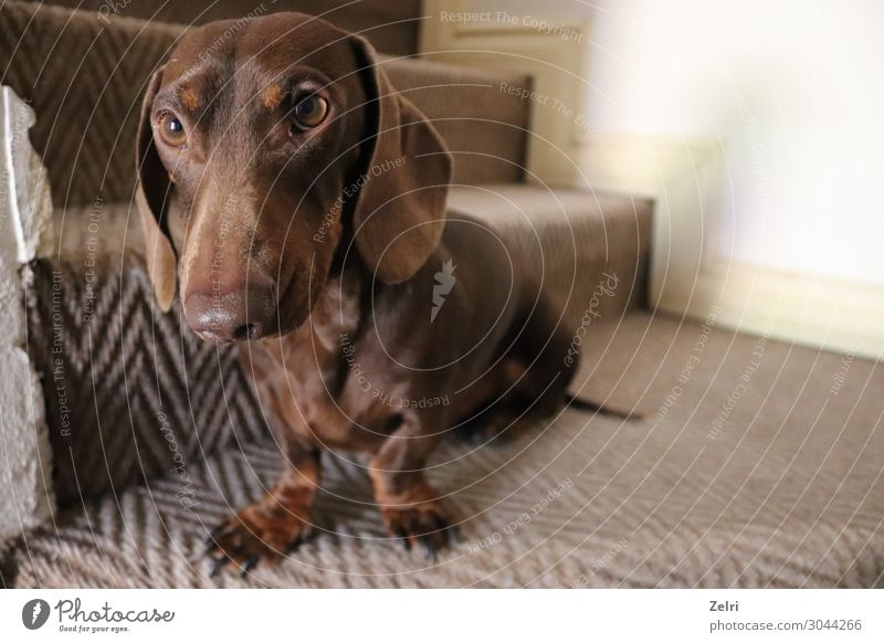 Chocolate dachshund Joy Animal Pet Dog 1 Happiness Acceptance Trust Safety Loyal Love Love of animals Loyalty Colour photo Interior shot Close-up Deserted