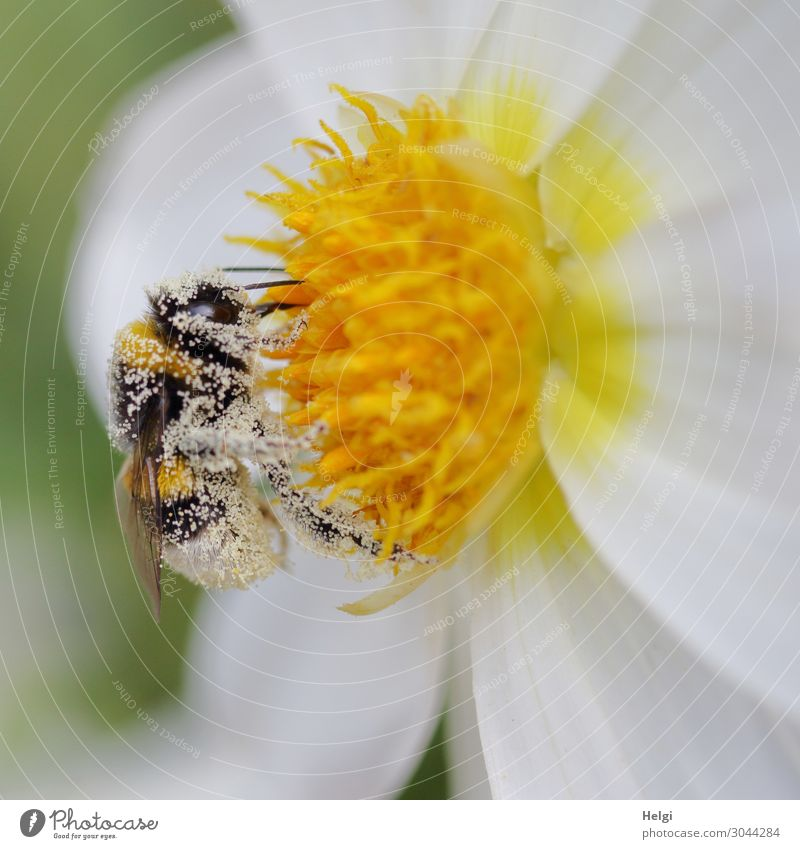Close-up of a bumblebee covered with pollen on a white-yellow dahlia flower Environment Nature Plant Animal Summer Beautiful weather Flower Blossom Dahlia