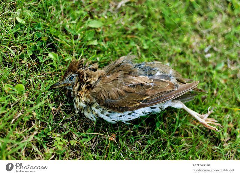 Dead Song Thrush Living thing Throstle Deserted Epidemic Bird Songbirds Death Copy Space usutu Virus bird epidemic