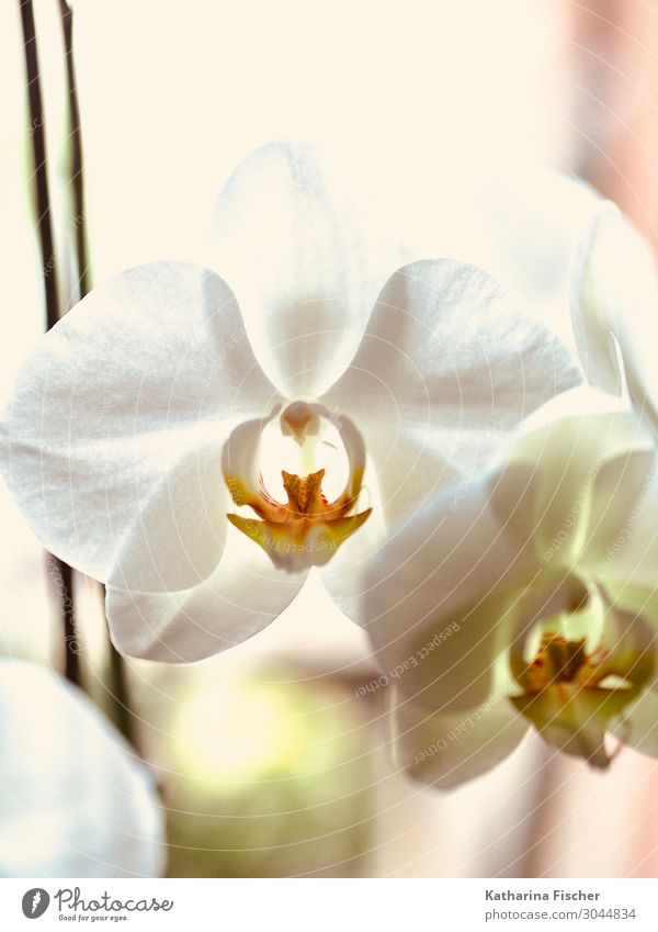 Orchid white Nature Plant Spring Summer Autumn Winter Flower Decoration Blossoming Beautiful Yellow Orange White Orchid blossom Colour photo Interior shot