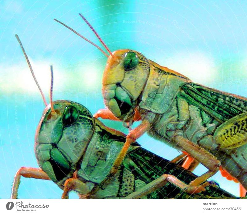 grasshoppers hoppers Animal Locust 2 Transport Macro (Extreme close-up) Colour Nature