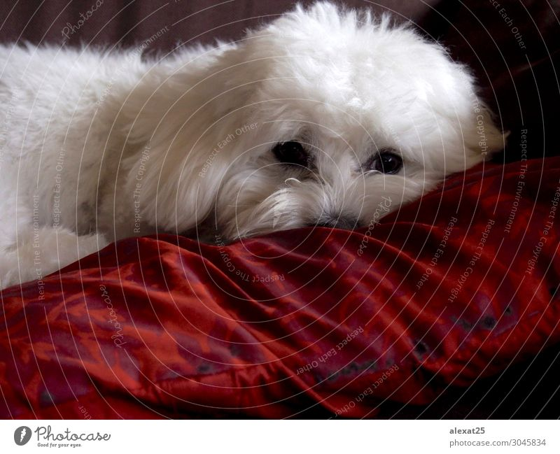 Bichon maltese resting Happy Beautiful Nature Animal Pet Dog Love Sit Small Cute White Delightful bichon Breed Domestic furry hair Mammal Purebred pretty Puppy