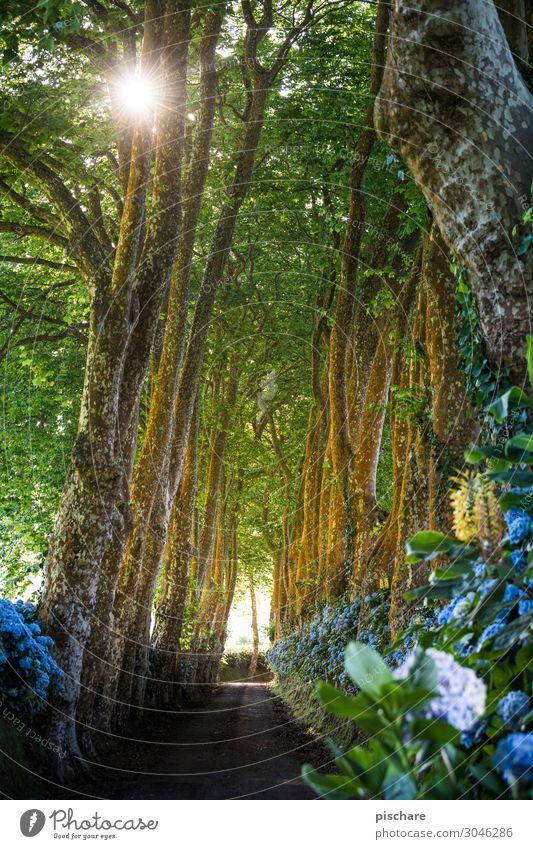 Nature Beautiful Sun Tree Forest Street Idyll Beautiful weather Avenue Hydrangea Azores