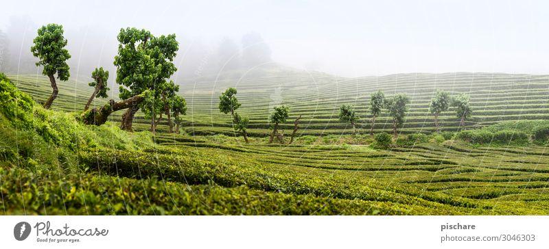 Nature Green Landscape Natural Garden Park Fog Tea plants Foliage plant Tea plantation Azores