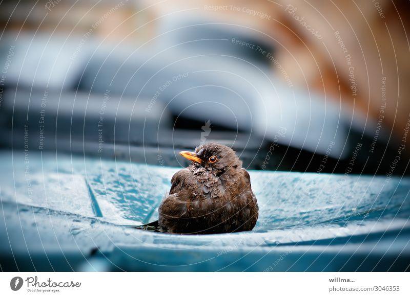 the waste inspector Blackbird Bird Sit Wet Trash container Rain Rainwater Observe Watchfulness Testing & Control Environmental protection Waste utilization