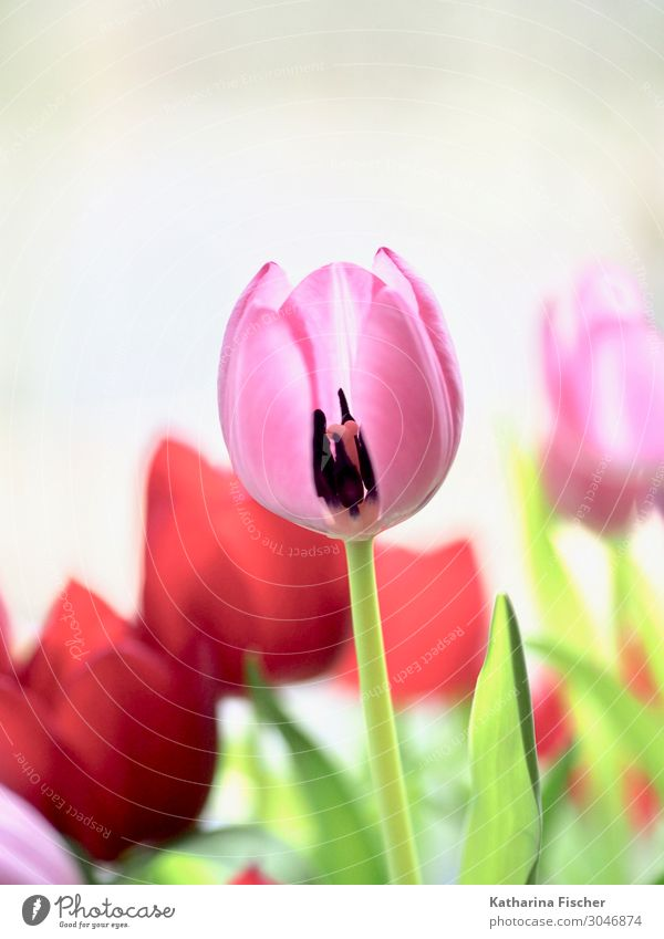Tulip pink red Plant Spring Summer Autumn Flower Bouquet Blossoming Happiness Green Pink Red White Tulip blossom Tulip bud Decoration Colour photo Interior shot