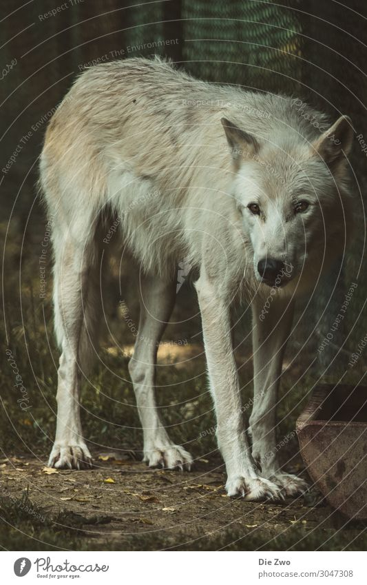 wolf Animal Earth Wild animal Wolf 1 Aggression Natural Emotions Love of animals Calm Pride Interest Observe Colour photo Subdued colour Exterior shot Deserted