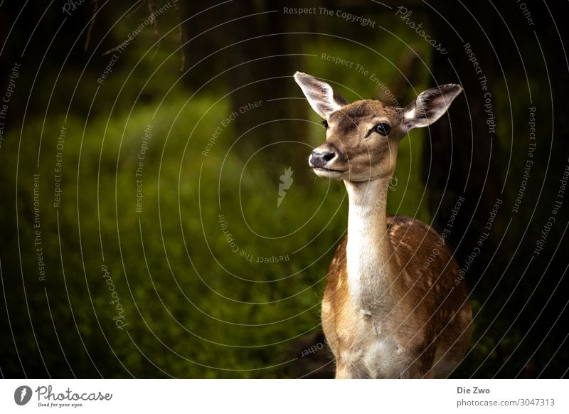 Bambi Nature Animal Wild animal Zoo Roe deer 1 Emotions Euphoria Bravery Willpower Trust Safety (feeling of) Sympathy Love of animals Smart Forest Colour photo