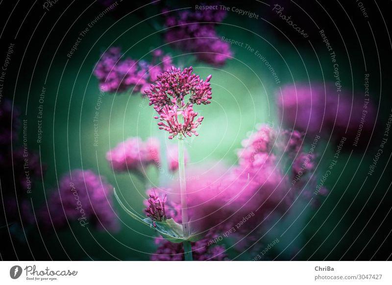 in the garden Nature Plant Summer Flower Blossom Foliage plant Wild plant Pink Moody Serene Calm Dream Longing Eternity Colour Joie de vivre (Vitality)