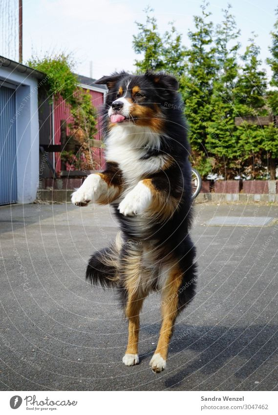 Ssh! Animal Dog 1 Playing Jump Dance Joy Collie Colour photo Exterior shot Deserted Day Motion blur Central perspective Full-length Front view