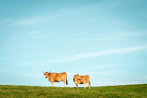 Two cows Landscape Plant Animal Sky Cloudless sky Summer Beautiful weather Grass Meadow Willow-tree Steppe Pampa Farm animal Cow 2 Observe To enjoy Stand